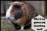 Guinea Pigs Blood Can Overcome Shortness Of Breath And Cough?