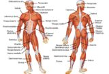 Whole Body Muscles Move?