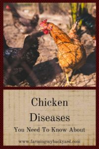 Illustration of Is It Dangerous To Step On Chicken Poop While Pregnant?