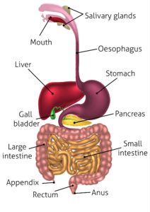 Illustration of Stomach Muscles Are Weakened And Food Cannot Be Digested?