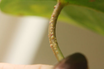 Illustration of How To Get Rid Of Lumps In The Stem?