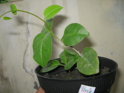 Illustration of Benefits Of Boiled Binahong Leaves And Rock Sugar In Stomach Acid?