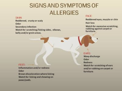 Illustration of Symptoms That Occur If Allergic To Dogs?