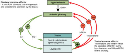 Illustration of Hormone Therapy To Facilitate The Menstrual Cycle?
