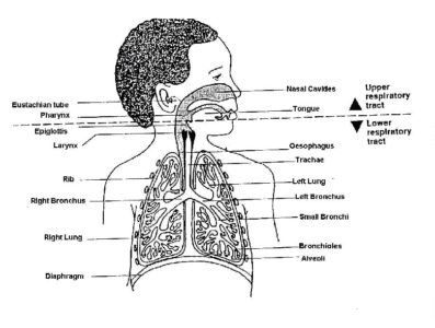 Illustration of How Long Does Acute Respiratory Infection (ARI) Last?