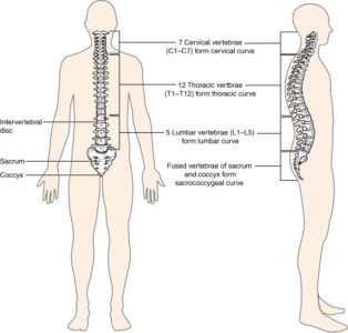 Illustration of Right And Left Vertebrae Have Different Growths?