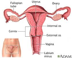 Illustration of Menstrual Cycles Are Irregular In History Of Cyst Surgery?