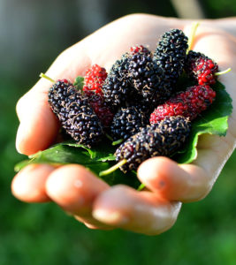 Illustration of How To Deal With Zits With Mulberry Fruit?