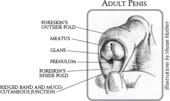 Illustration of The Foreskin Of The Penis Does Not Open At The Age Of 21 Years?