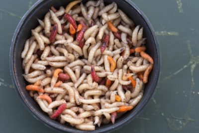 Illustration of Is It Dangerous If The Consumption Of Food Contained Maggots?