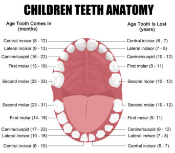 Illustration of The New Upper Incisors Develop At The Age Of 19?