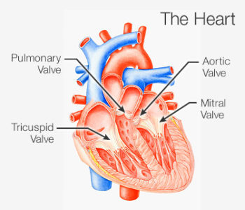 Illustration of The Time Is Right For A Heart Valve Check?
