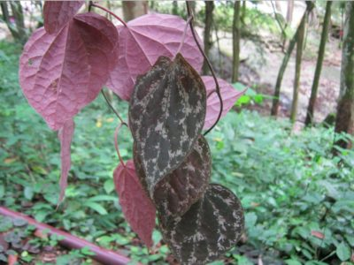 Illustration of Can You Drink Betel Leaf Boiled Water After Consuming Syphilis Medicine?