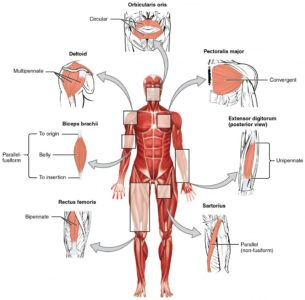 Illustration of The Cause Of The Skeletal Muscles Is Often Sore And Tired Quickly?
