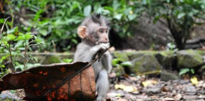 Illustration of Possible Transmission Of Rabies Through Hands Exposed To Monkey Saliva?