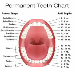 Illustration of The Growth Of The Molar Teeth In Children Who Have Been Extracted Twice?