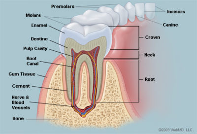 Illustration of Tooth?