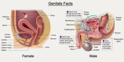 Illustration of About Genitals?