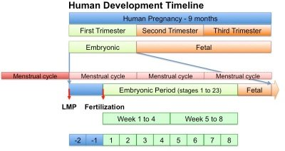 Illustration of Differences In The Calculation Of Gestational Age?