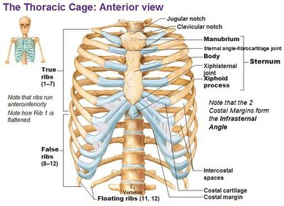 Illustration of The Rib On The Right Front Of The Protruding And Swollen?