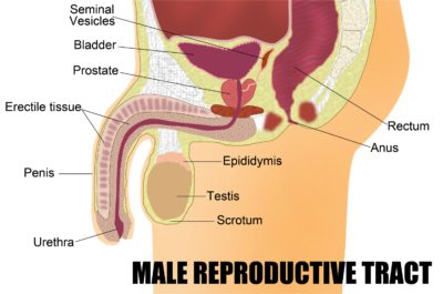 Illustration of Difference Between Epididymitis And Prostate?