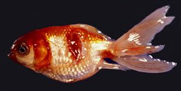 Illustration of The Cause Of Ulcer Disease Recurs After Consuming Fish?