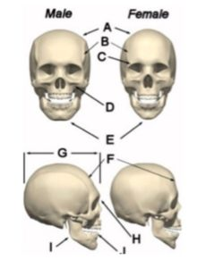 Illustration of The Shape Of The Skull Bones Of An 11 Month Old Baby?