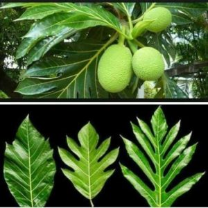 Illustration of Is It True That Breadfruit Leaves Can Lower Cholesterol?