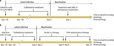 Illustration of Treatment Of Toxoplasmosis After Curettage?