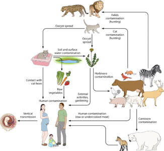 Illustration of Risk Of Being Infected With Toxoplasmosis With A History Of Miscarriage Due To Mumps?
