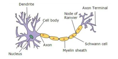 Illustration of Use Of Drugs For People With Demyelination?