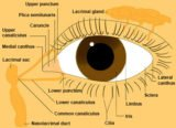 As There Are Glands Around The Retina Of The Left Eye?