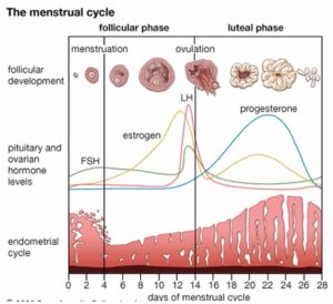 Illustration of Changes In The Menstrual Cycle After Taking Medication For Endometriosis?