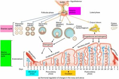 Illustration of Causes And Ways To Treat Menstrual Cycle Disorders?