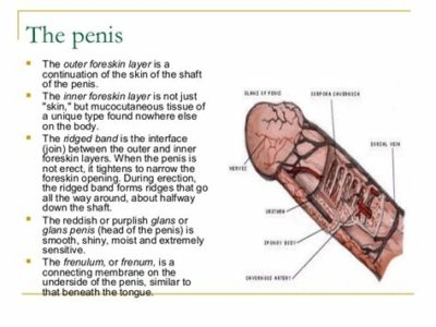 Illustration of The Head Of The Penis That Goes Into The Foreskin Of The Penis?