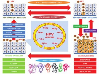 Illustration of HPV Infection Transmission Through Sexual Intercourse?