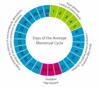 Illustration of How To Calculate Menstrual Cycle?